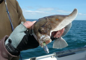 Plaice on a Lure